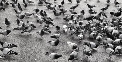131109_pigeons